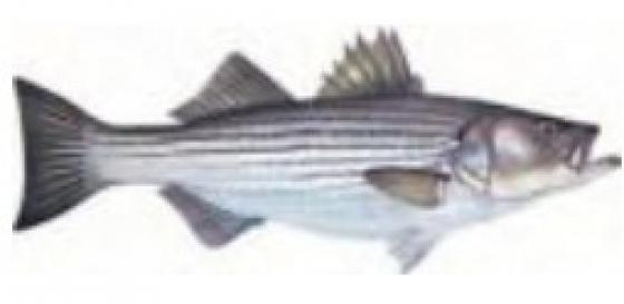 Stripped bass