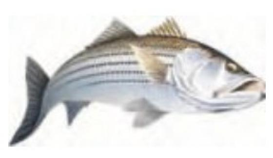 Stripped bass action